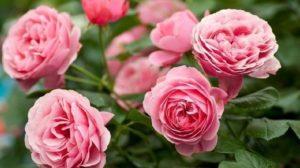 8 secrete cum să creșteți cei mai frumoși trandafiri!