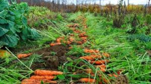 Câteva secrete despre cultivarea morcovului!