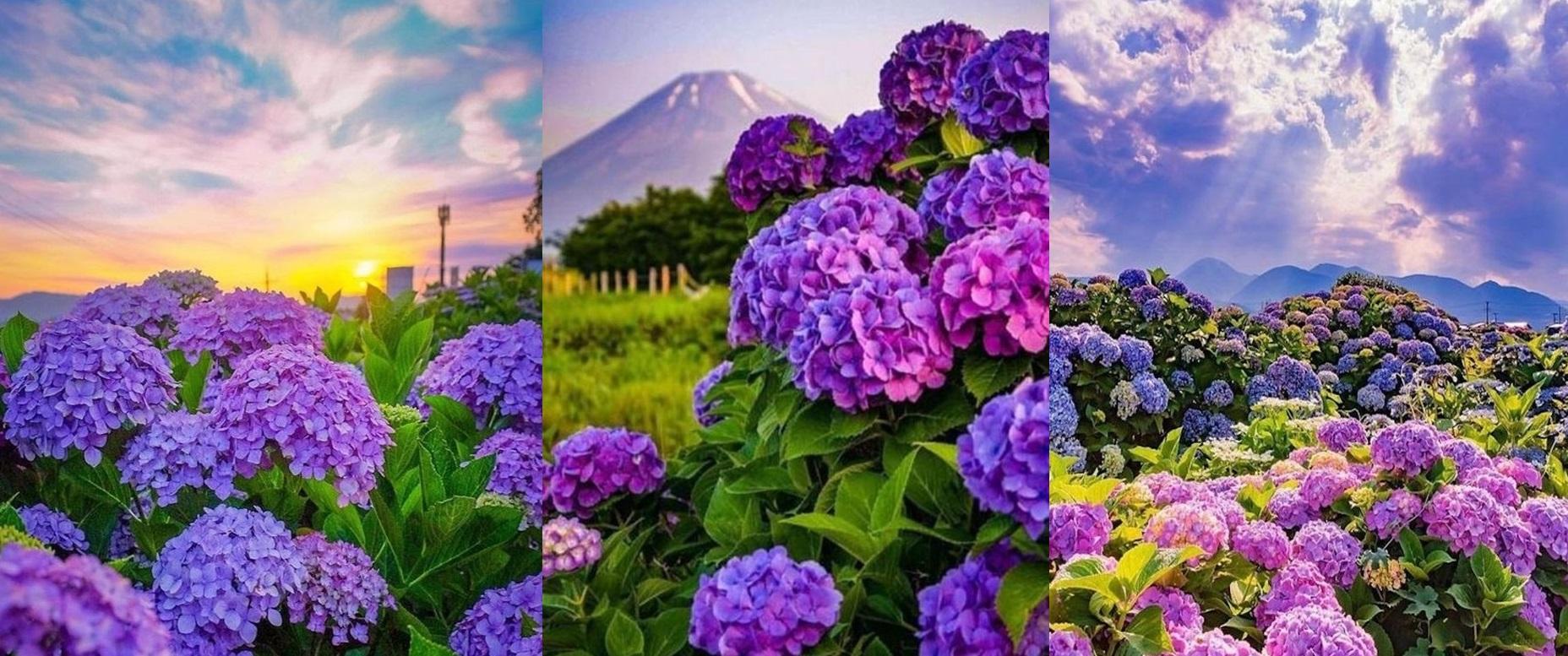Cum sa provoci inflorirea hortensiilor pentru a crea un spectacol minunat colorat in gradina ta. GALERIE FOTO!