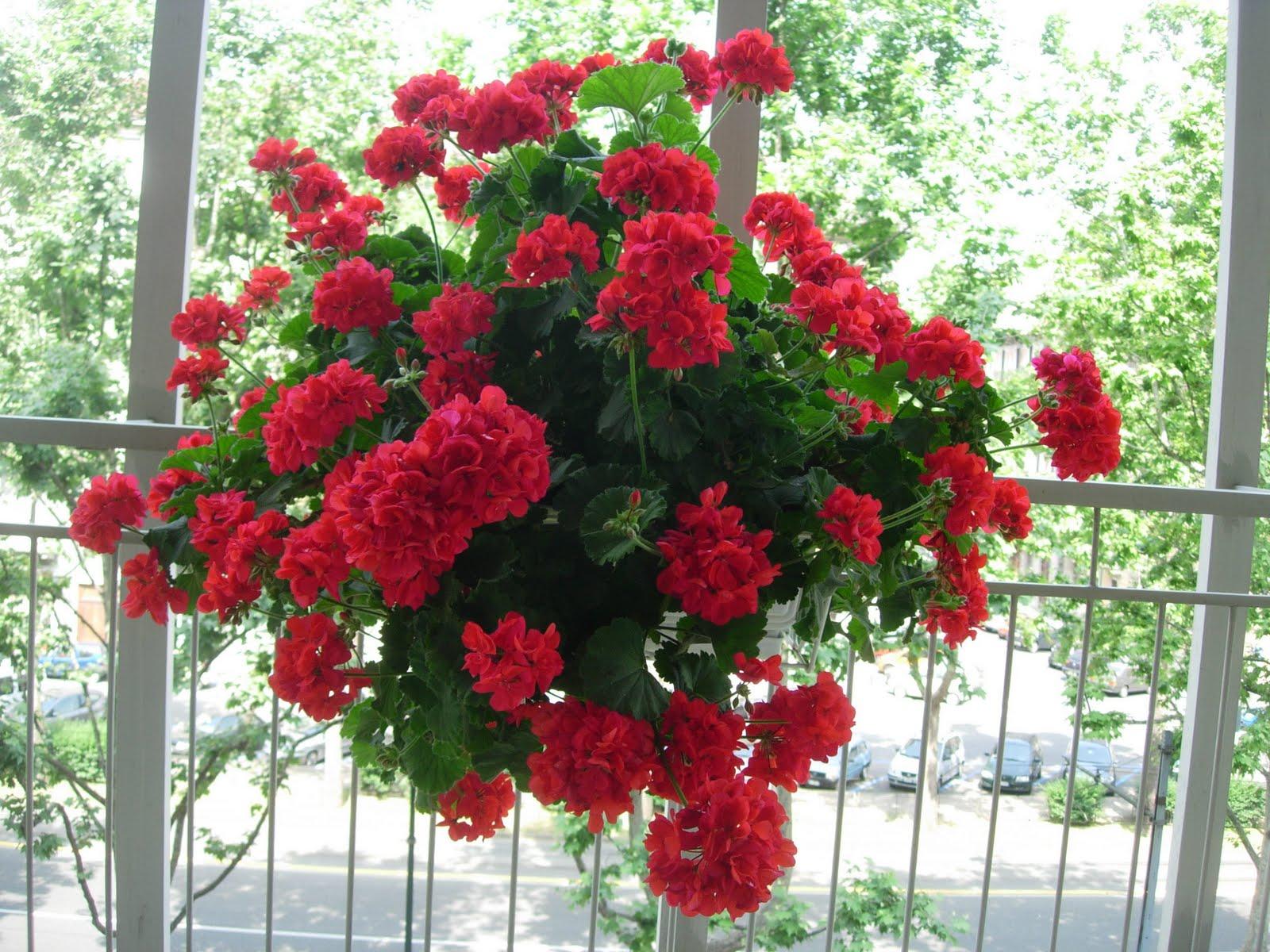 Cum sa ai grija de muscate ca sa fie pline de flori toata vara