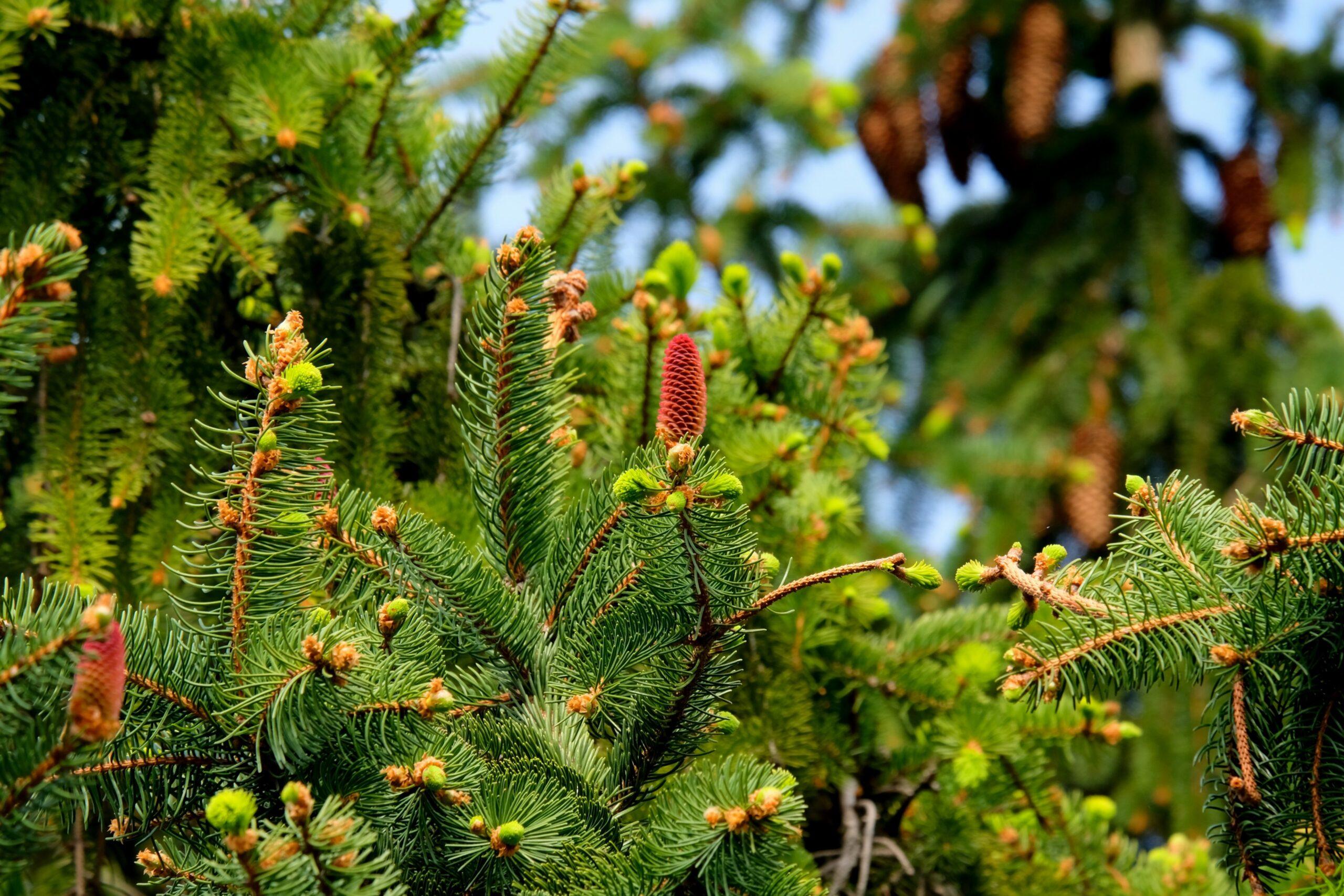 Află cum bradul și pinul desfundă căile respiratorii