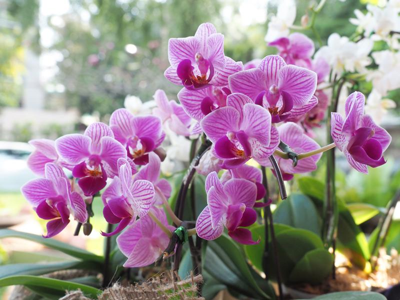 Îngrijirea orhideei și îngrășăminte naturale pentru orhidee