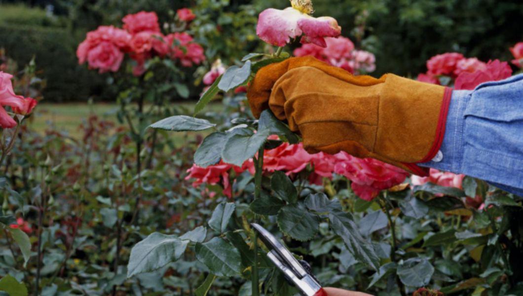 Tunderea trandafirilor după înflorire, de toamnă – instrucțiuni detaliate pentru începători